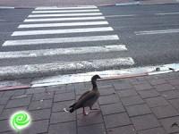 זהירות! ברווזים חוצים… כביש